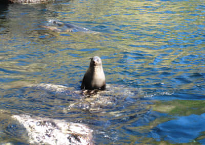 Fur-seals-on-Maatsuuyker-Island